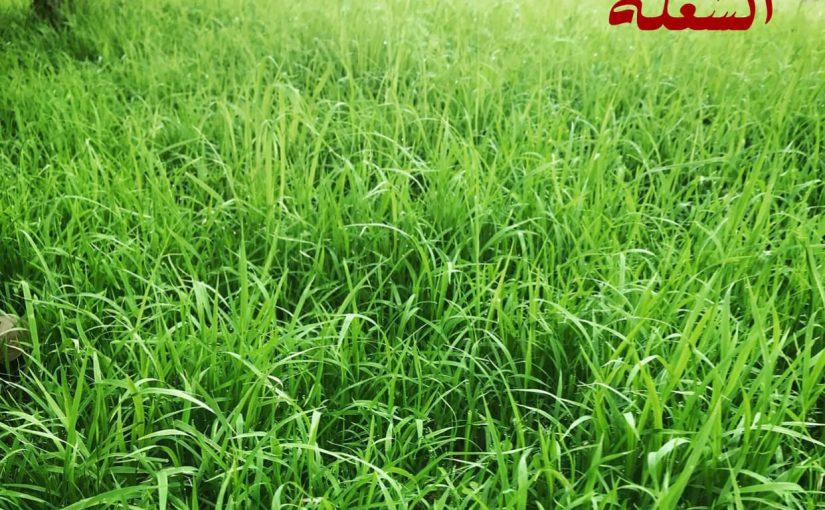 شركة تركيب وتوريد عشب طبيعي بالمدينه المنوره